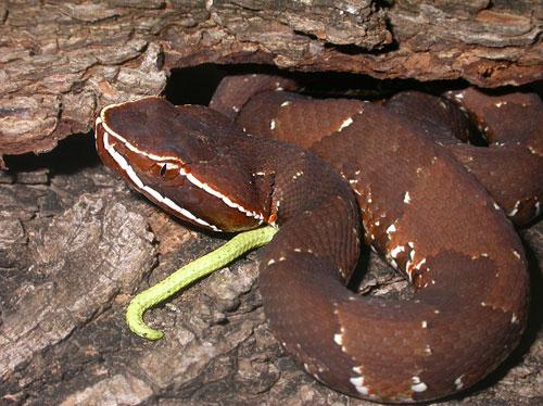 """""""serpientes Venenosas Mexicanas"""" Agkistrodon_bilineatus1"""