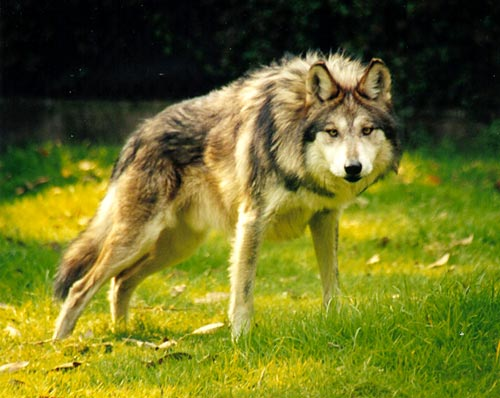 Gray Wolf (Canis lupus) | A captive Gray Wolf at the Wildlif