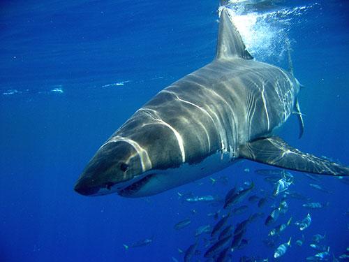 Акулы и их нападения на людей (не для слабонервных)