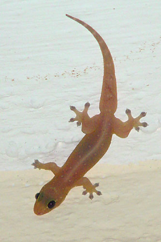 Hemidactylus frenatus photos