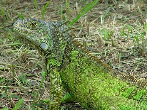 http://www.vivanatura.org/Iguana_iguana_2.jpg