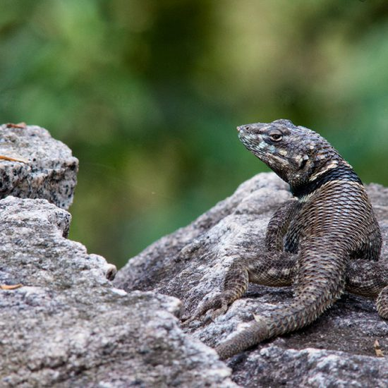 Buller's Spiny Lizard (Sceloporus bulleri)