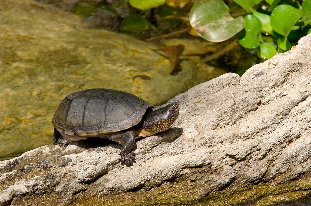 Jalisco Mud Turtle (Kinosternon chimalhuaca)